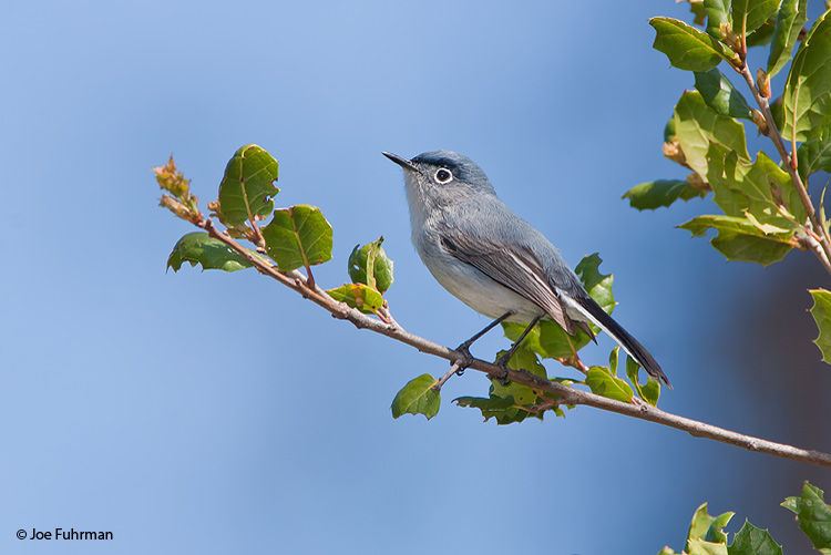 Blue-gray Gnatcatcher L.A. Co., CA March 2009