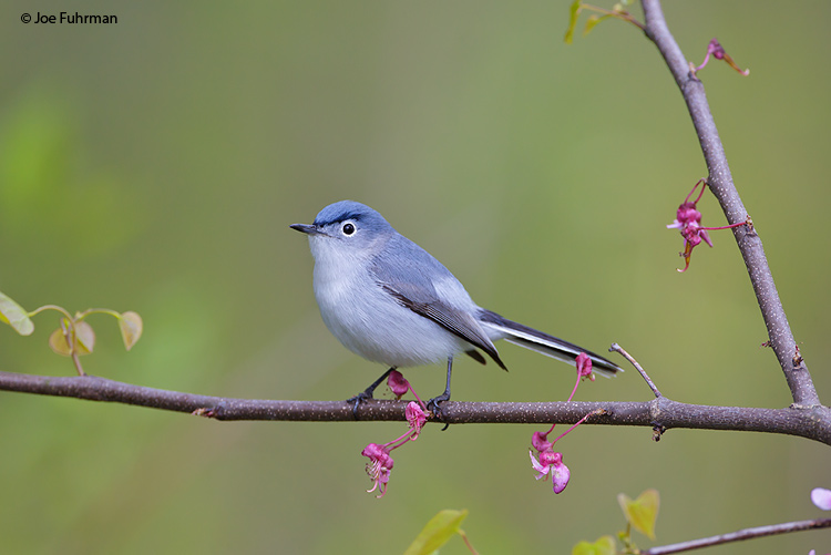 Blue-gray Gnatcatcher Vinton Co., OH    May 2011