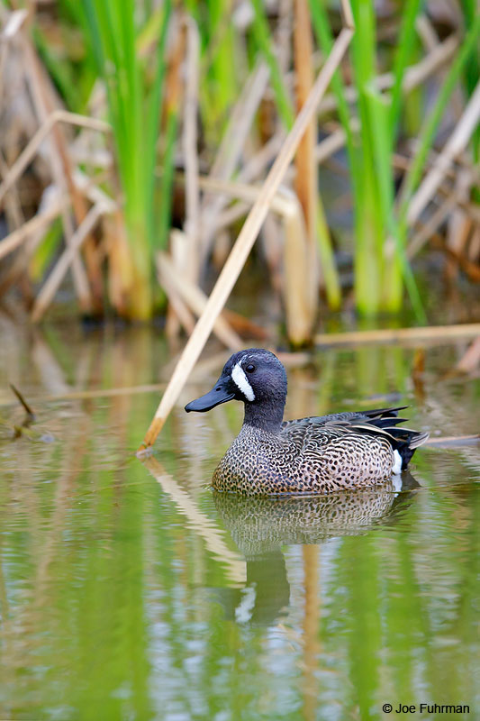 Blue-winged Teal Nueces Co., TX March 2015