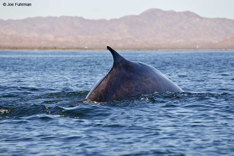 Blue Whale Loreto-BCS, Mexico March 2011