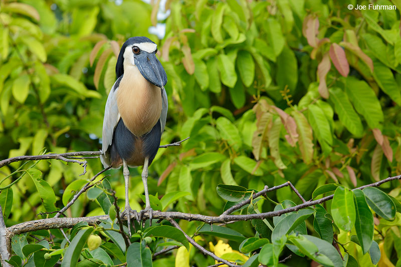 Boat-billed HeronSan Blas, Nayarit, Mexico   April 2015