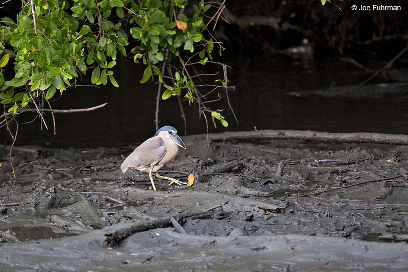 Boat-billed Heron Laguna de Quelele, Nay., Mexico   Dec. 2013