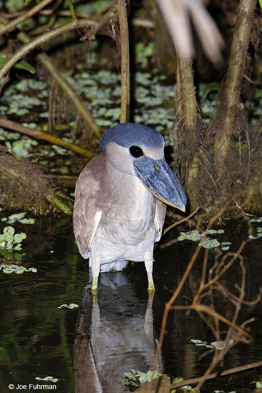 Boat-billed Heron Hato Pinero, Venezuela   February 2009