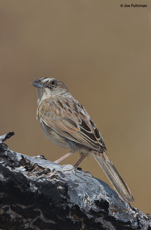 Botteri's Sparrow Pima Co., AZ    May 2011