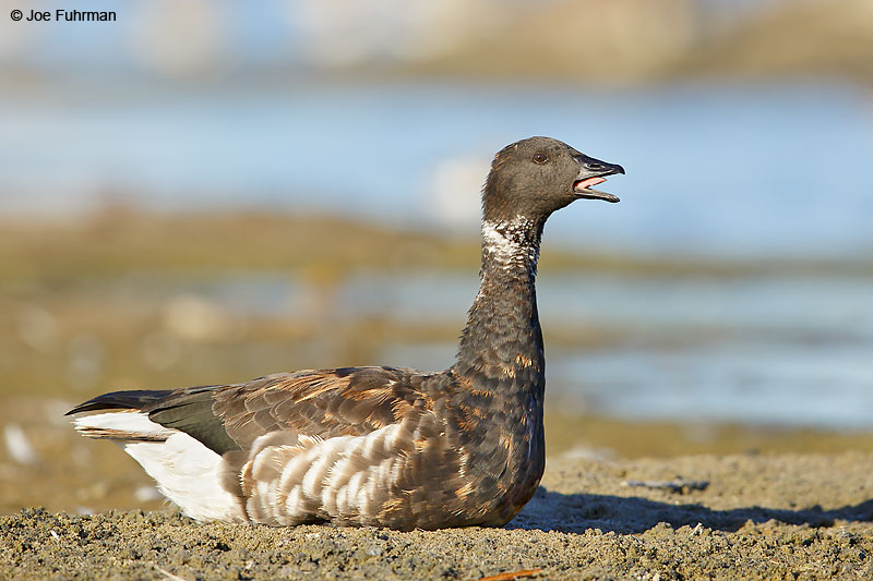 Brant (nigricans subspecis)Malibu Lagoon-L.A. Co., CA    September 2016