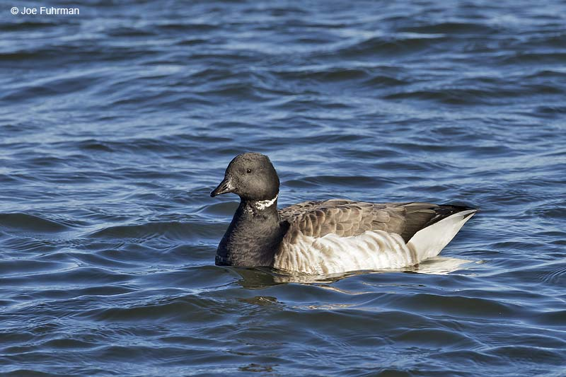 "Brant (hrota sub species ""American Brant"") Ocean Co., NJ Jan. 2013"