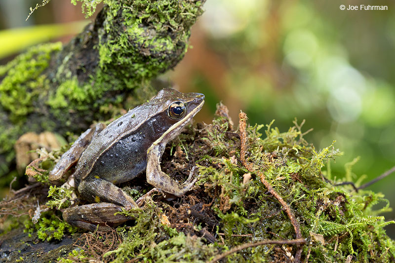 Brilliant_Forest_Frog_16A4531