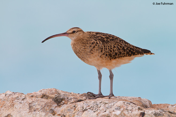 Bristle-thighed Curlew Midway Atoll, HA   March 2010