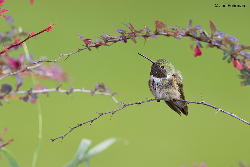 Broad-tailed Hummingbird Apache Co., AZ   Aug. 2014