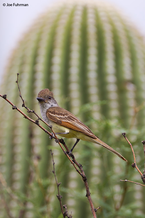 Brown-crested Flycatcher Pima Co., AZ   July 2011