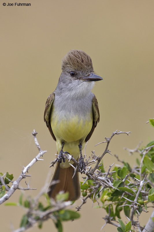 Brown-crested Flycatcher Starr Co., TX    April 2012