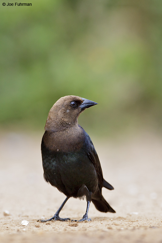 Brown-headed Cowbird Starr Co., TX April 2012