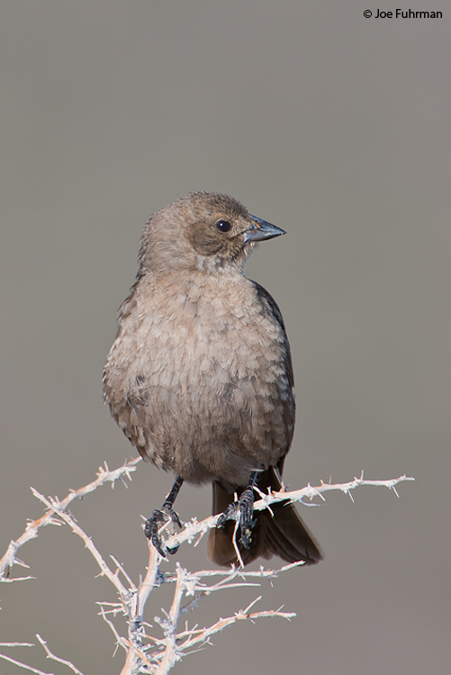 Brown-headed Cowbird female Mono Co., CA June 2008