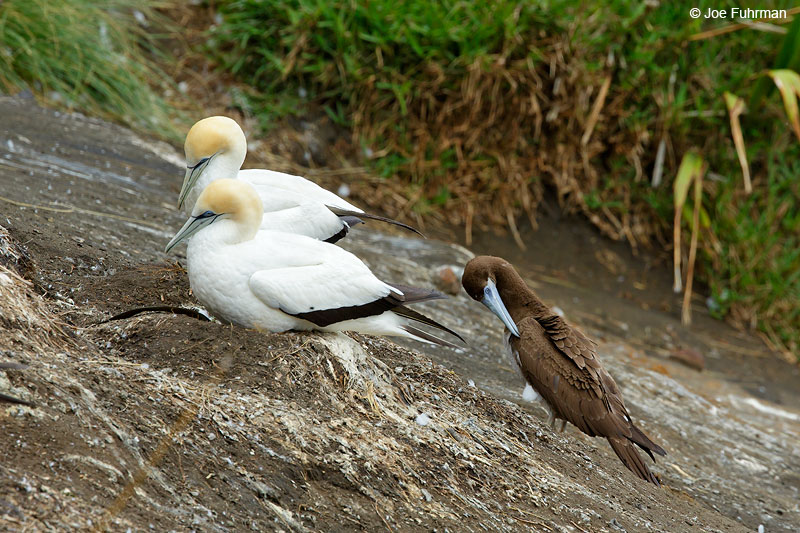 Australasian Gannet & Brown Booby Muriwai, New Zealand Dec. 2014