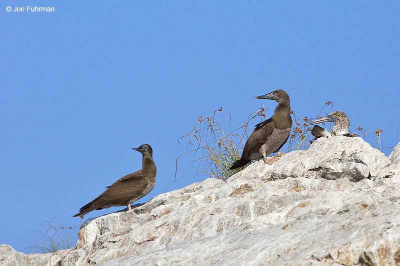 Brown Booby-juv. Islas Marietas, Nay., Mexico Dec. 2013