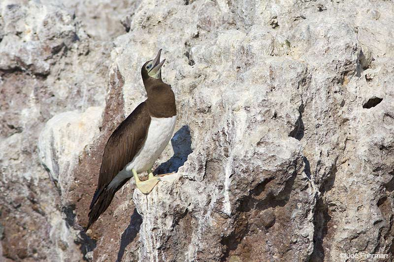 Brown Booby Islas Marietas, Nay., Mexico Dec. 2013