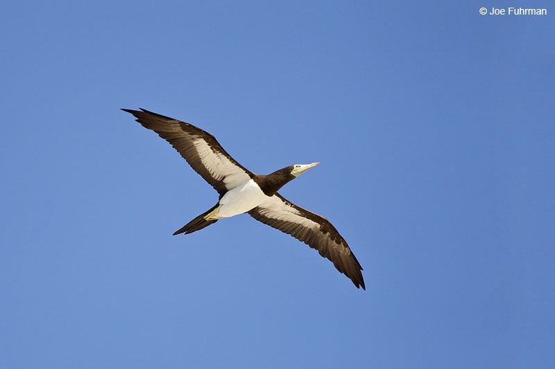 Brown Booby Islas Marietas, Nay., Mexico March 2013