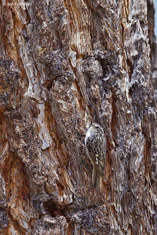Brown Creeper Kern Co., CA   July 2013