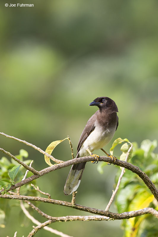 Brown Jay Arenal National Park, Costa Rica   Jan. 2014