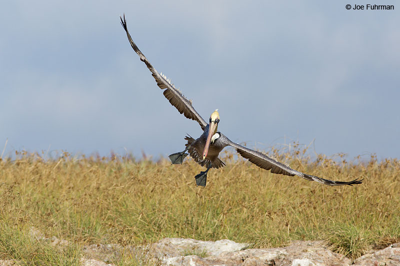 Brown Pelican Islas Marietas, Nay., Mexico Dec. 2013