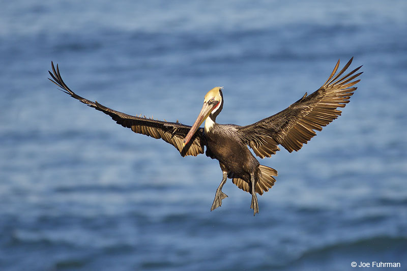 Brown Pelican San Diego, CA Jan. 2014