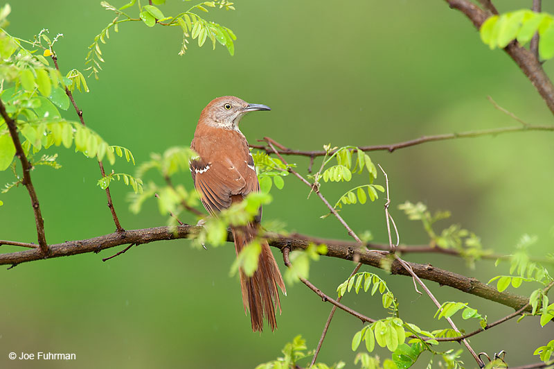 Brown ThrasherScioto Co., OH April 2010