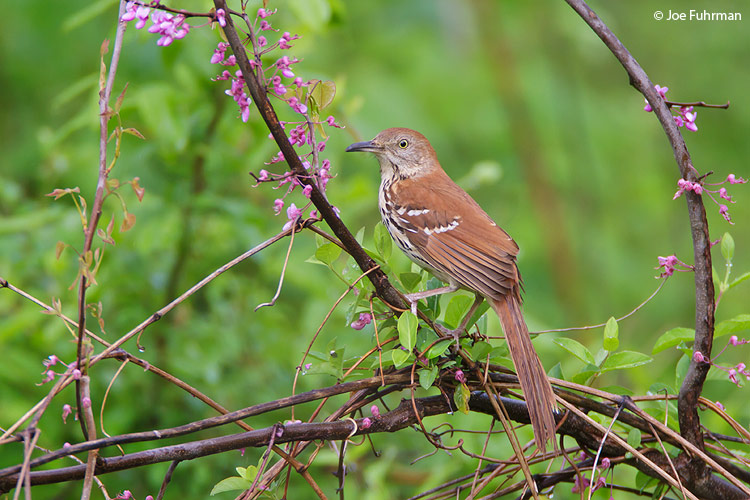 Brown Thrasher Scioto Co., OH April 2010