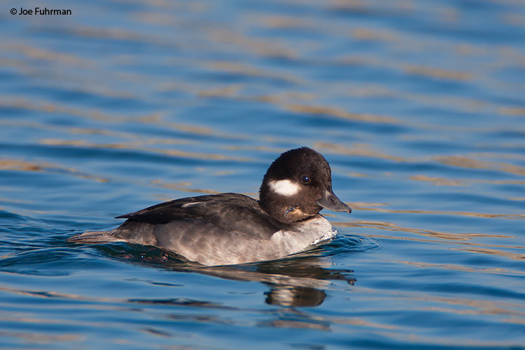 Bufflehead female L.A. Co., CA December 2008