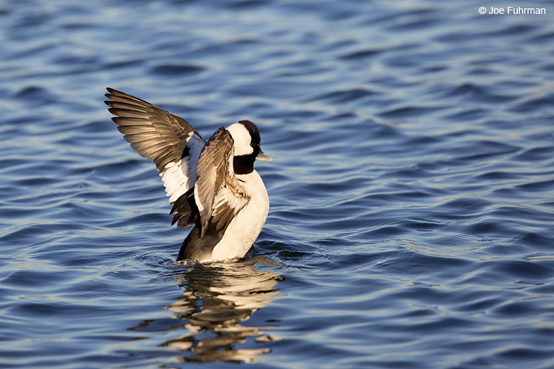 Bufflehead Orange Co., CA Dec. 2013
