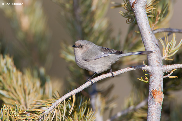 Bushtit Socorro Co., NM   January 2008