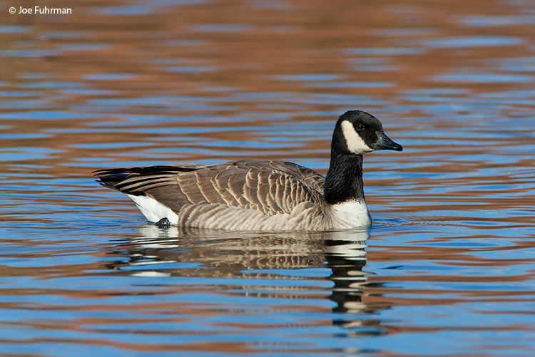 Cackling Goose Bernalillo Co., NM January 2008