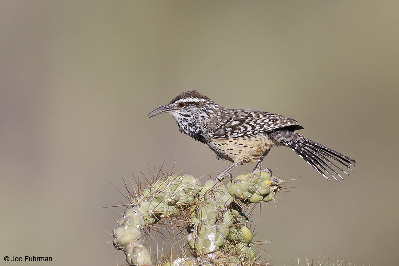 Cactus Wren Pima Co., AZ April 2013