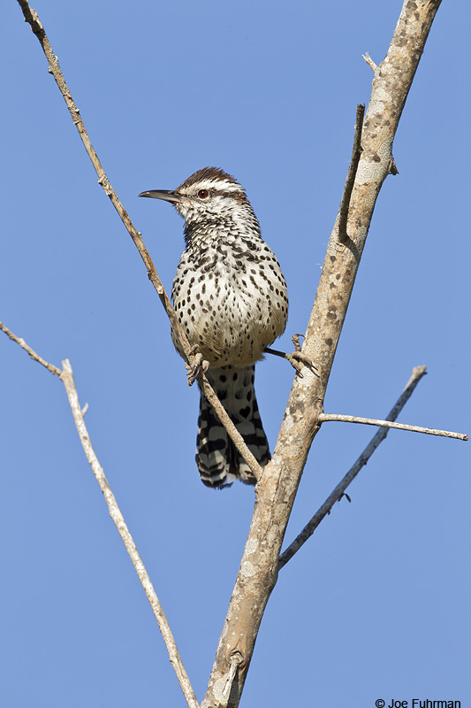 Cactus Wren-coastal race Rancho Palos Verdes-L.A. Co., CA Jan. 2011