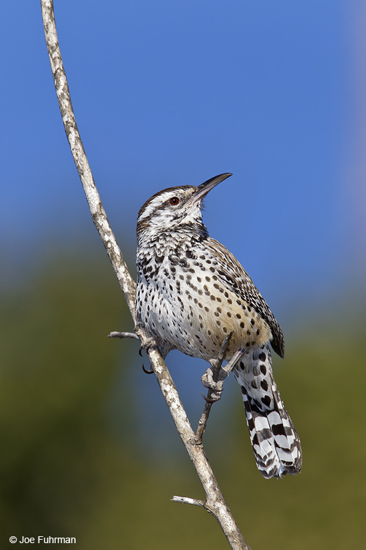Cactus Wren (coastal race)Rancho Palos Verdes-L.A. Co., CA Jan. 2011