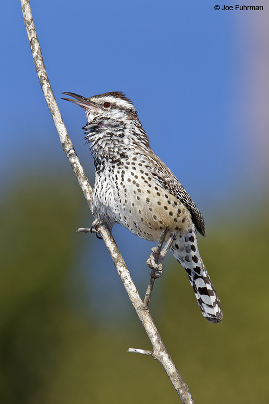 Cactus Wren (coastal race) Rancho Palos Verdes-L.A. Co., CA Jan. 2011