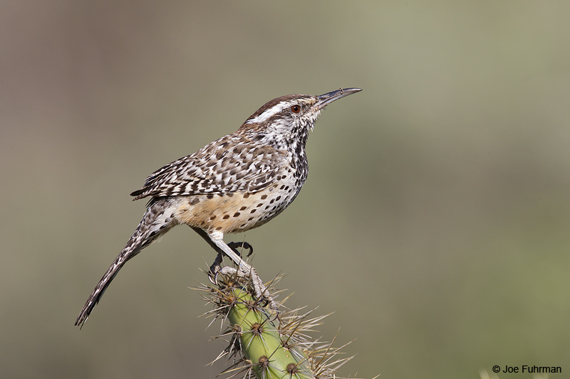 Coastal Cactus Wren Rancho Palos Verdes-L.A. Co., CA Jan. 2011