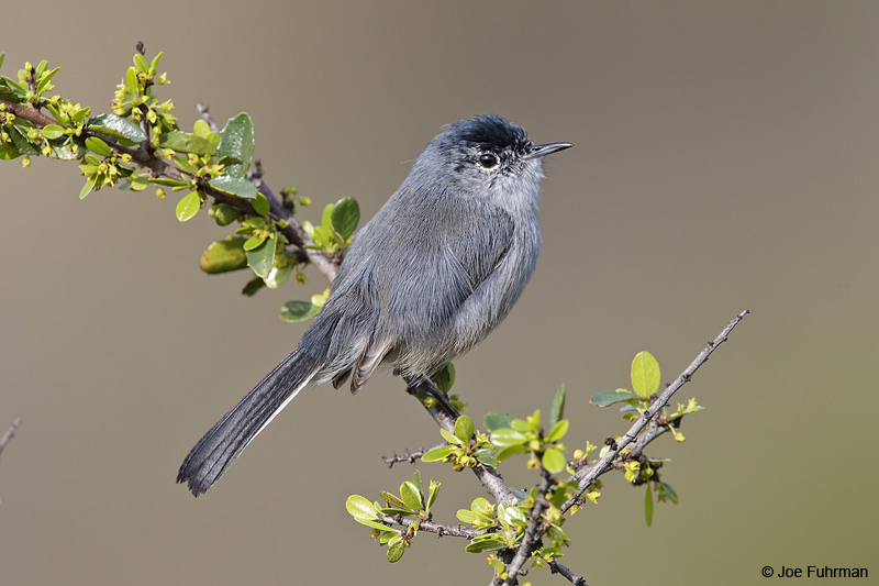 California Gnatcatcher San Diego Co., CA Feb. 2011