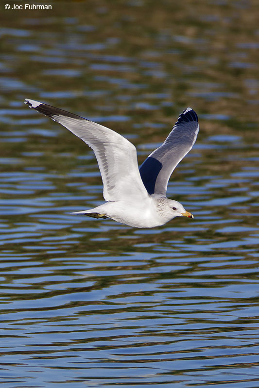California Gull L.A. Co., CA   January 2009