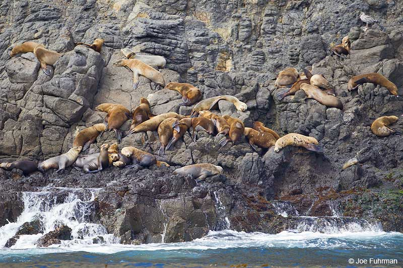 California_Sea_Lion_W0G4485