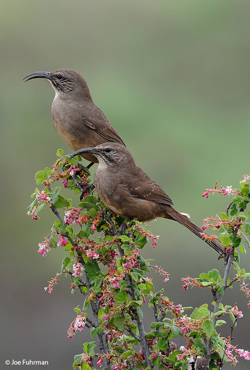 California_Thrasher_DSC_7126