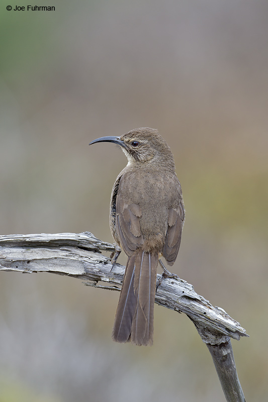 California Thrasher San Diego Co., CA June 2012