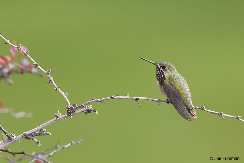 Calliope Hummingbird Apache Co., AZ   Aug. 2014
