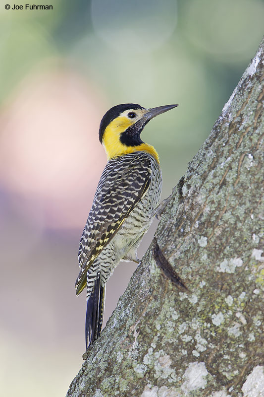 Campo Flicker Miranda, MS  BRZ March 2008 c. Joe Fuhrman