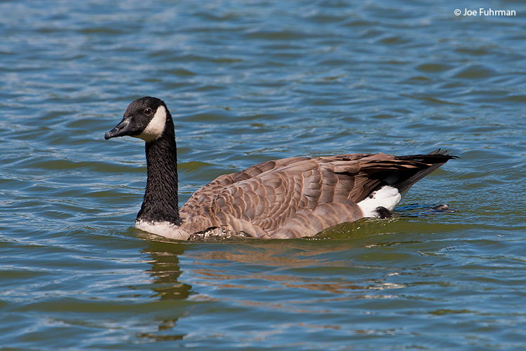 Canada Goose Washoe Co., NV Sept. 2006
