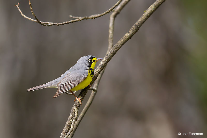 Canada Warbler Lackawanna Co., PA May 2016