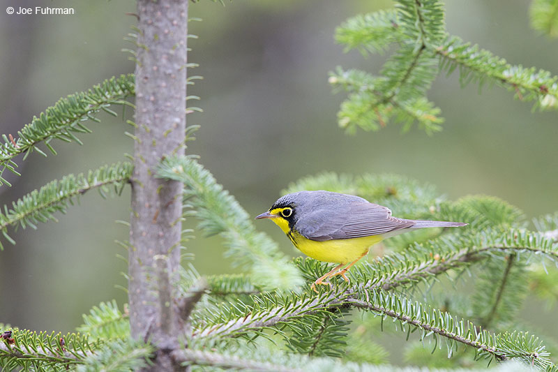 Canada Warbler Piscataquis Co., ME May 2013