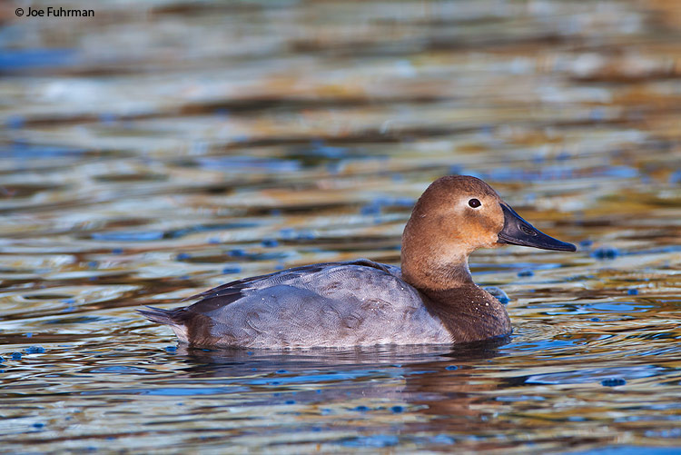 Canvasback female L.A. Co., CA   January 2010