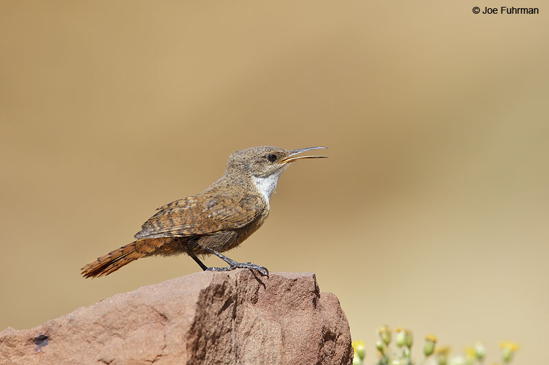 Canyon Wren Chaco Canyon National Park, NM   August 2013