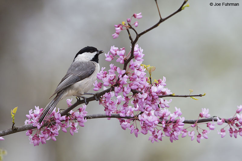 Carolina Chickadee Tulsa, OK   April 2013