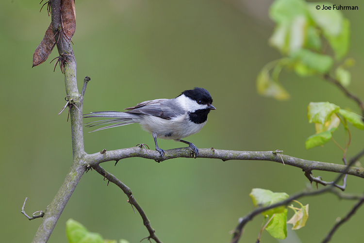 Carolina Chickadee Vinton Co., OH    May 2011